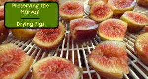 Thrifty-Living-Preserving-the-Harvest-Drying-Figs