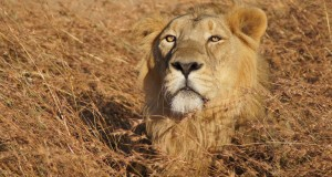 Your-School-Can-Help-ZSL-Save-The-Asiatic-Lion